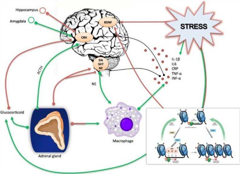 Почему стресс разрушает мышцы и копит жир